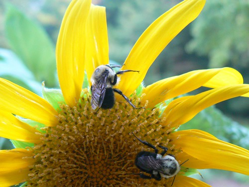 two bees on sunflower-2