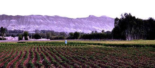 potato fields