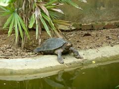 Tortuga. Parque Nacional de Cuc Phuong