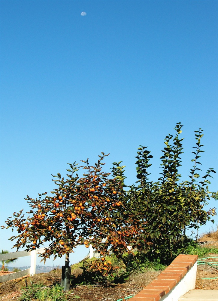 moon_over_persimmons_18tishri.jpg