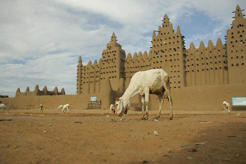 Sahelian sheep graze before the Djenne Mosque, in Mali