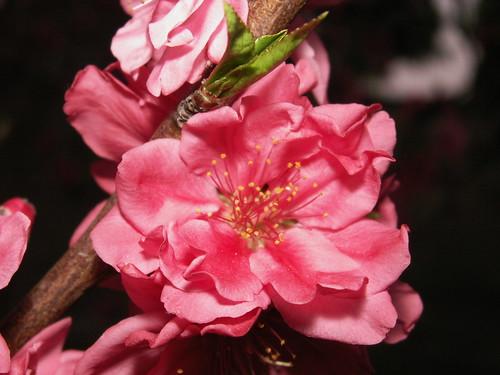 Cherry blossom - Roma Street Parklands, Brisbane