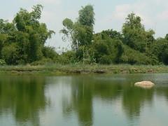 Tilapia Pond_1