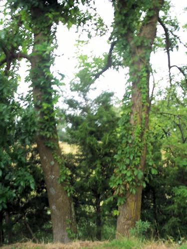twin trees.jpg