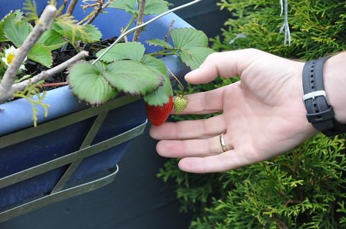 Ronny auf dem Weg eine Erdbeere zu ernten