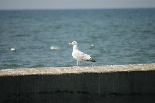 Lake Erie Gull