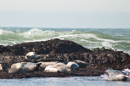 Moss Beach - Sea Lions