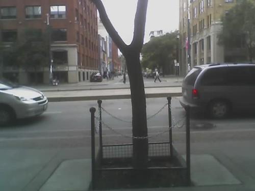 Trees Imprisoned On Spadina Avenue.