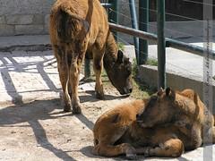 bisonbabys-schönbrunn