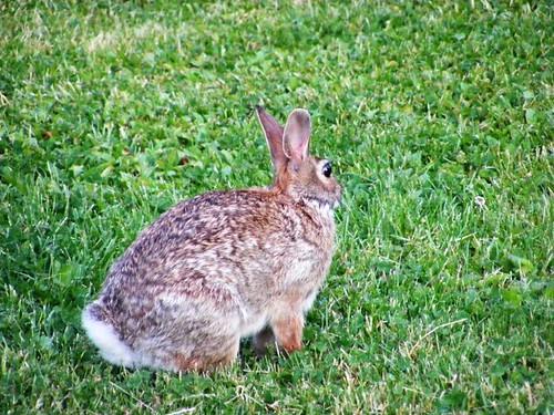 friggin' rabbit