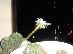 2007/06/19 家に帰ったらサボテンが咲いてた
