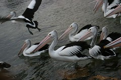 Day 4: Pelicans at Fishermans Jetty, Kingscote