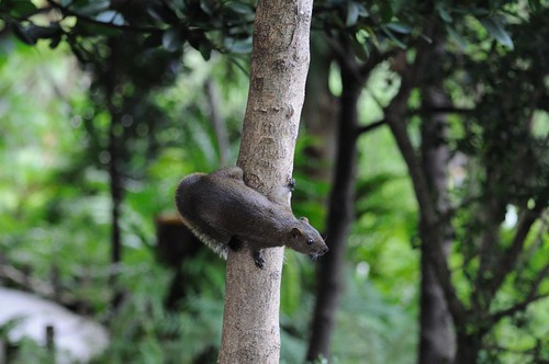 赤腹松鼠 Callosciurus flavimanus