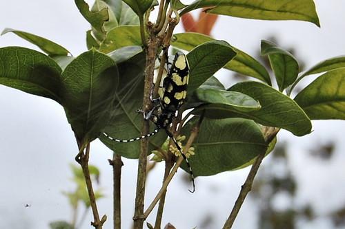 Locust beetle