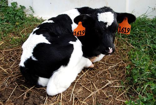 bebe cow!