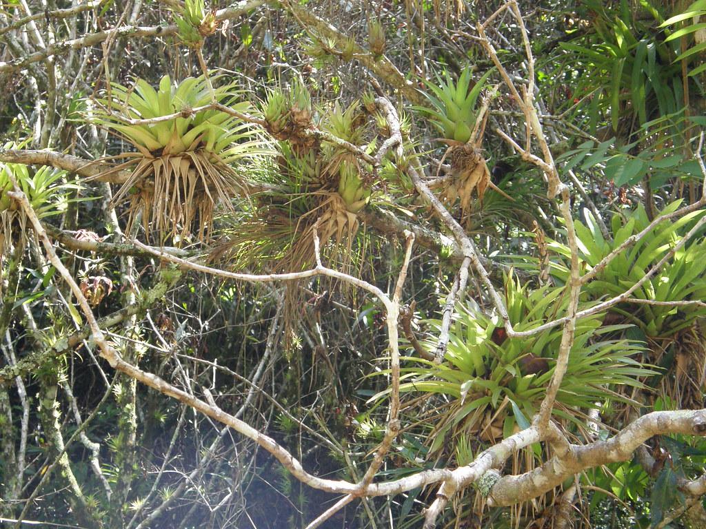 Bromeliáceas ep�fitas. Topes de Collantes