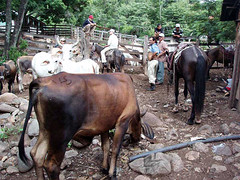 Cattle, men and boys