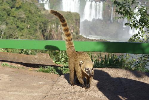 een Coatie in Park Foz do iguacu Brazilie