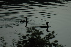 Two Double-crested Cormorants
