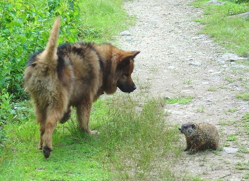 Dog vs. Groundhog