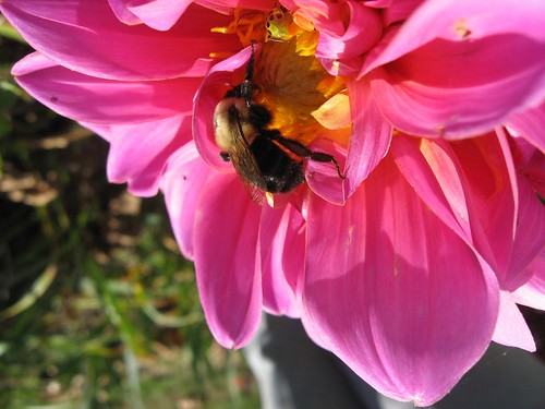 The dahlia and the bumblebeen