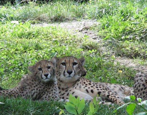 Cheetah duo