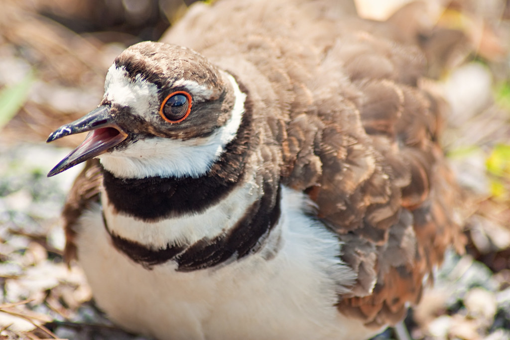 Killdeer on nest1