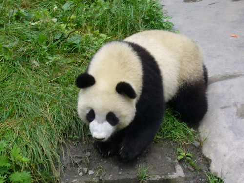 One year old Panda
