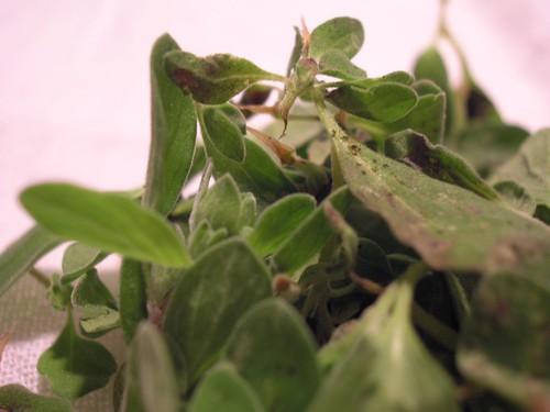 Fresh Marjoram Leaves