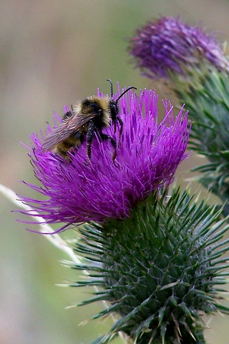 bee on thistle2