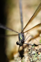 Ebony Jewelwing - the Lady