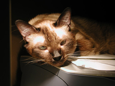 #35 - Tobias is lounging on my printer, again!