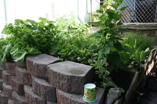veggie garden in June