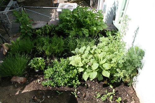 veggie garden in June