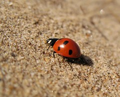 Ladybird on the beach