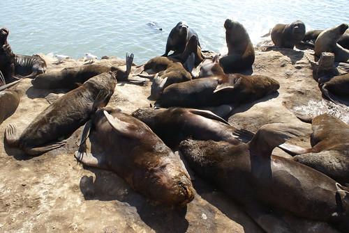 groep zeeleeuwen