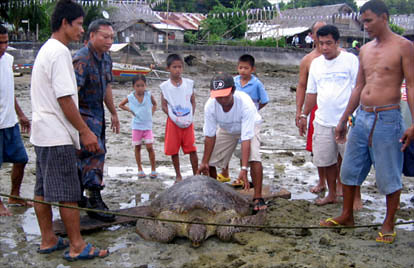 Release of marine turtle