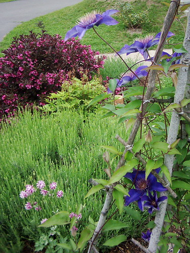 weigela, columbine and clematis in bloom