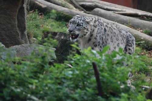 Schneeleopard Tarim im Zooparc de Trégomeur