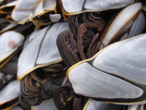 Лопари из породице Goose Barnacles (фото pshab)