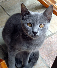 Crete Cats - Cute Grey Cat