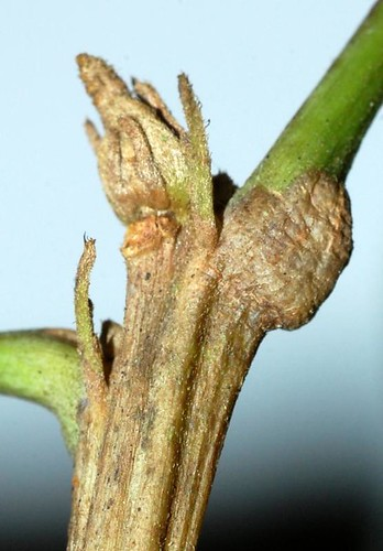 Sloanea langii