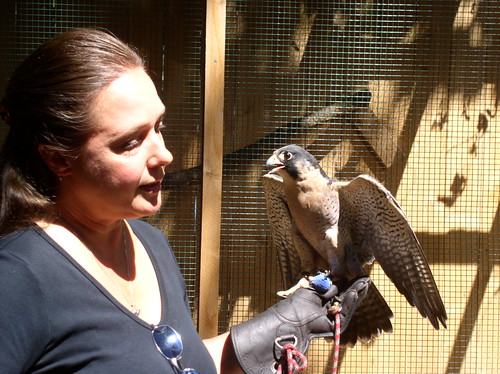 Finnegan the Peregrine falcon
