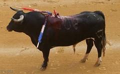 Bullfight - Stierkampf - Stier