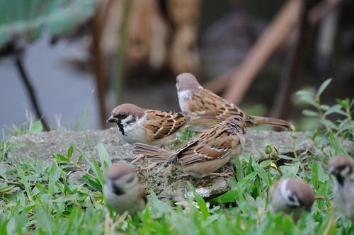 麻雀 Eurasian Tree Sparrow