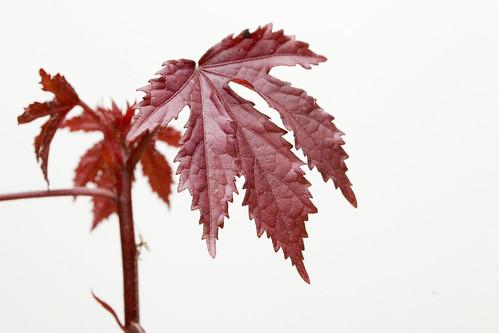 Hibiscus acetosella 'Burgundy Aquarius'