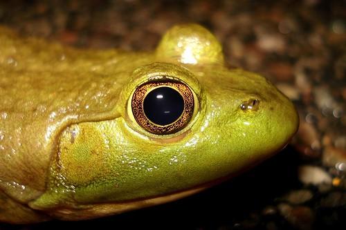 Bullfrog up close