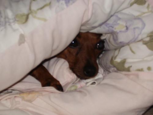 Blanket Ginger