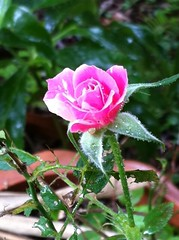 ミニ薔薇が咲きました