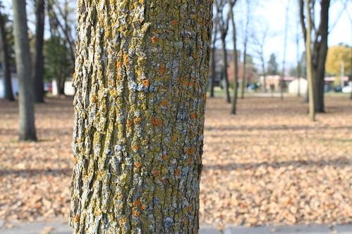 Marshfield, Wisconsin - Yellow Lichen